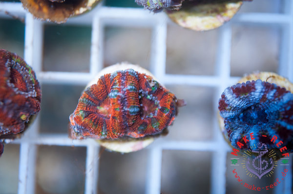 Acanthastrea Lordhowensis Rainbow